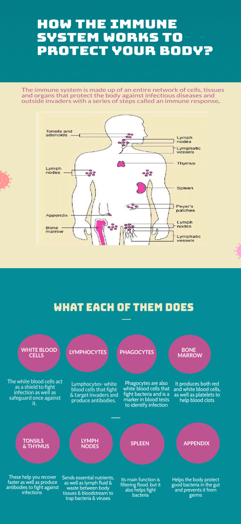 How-the-immune-system-works-infographics